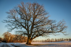 arbre-neige